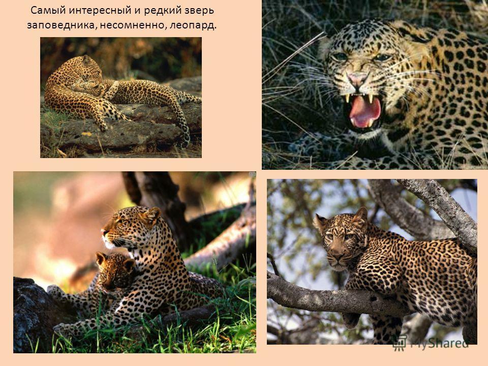 Самый интересный и редкий зверь заповедника, несомненно, леопард.