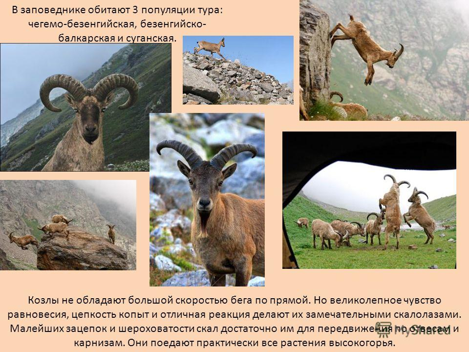В заповеднике обитают 3 популяции тура: чегема-безенгийская, безенгийско- балкарская и луганская. Козлы не обладают большой скоростью бега по прямой. Но великолепное чувство равновесия, цепкость копыт и отличная реакция делают их замечательными скало