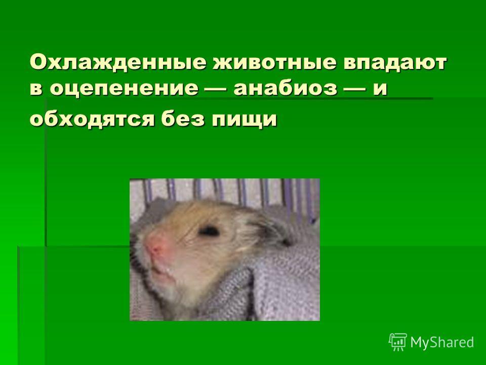 Охлажденные животные впадают в оцепенение анабиоз и обходятся без пищи