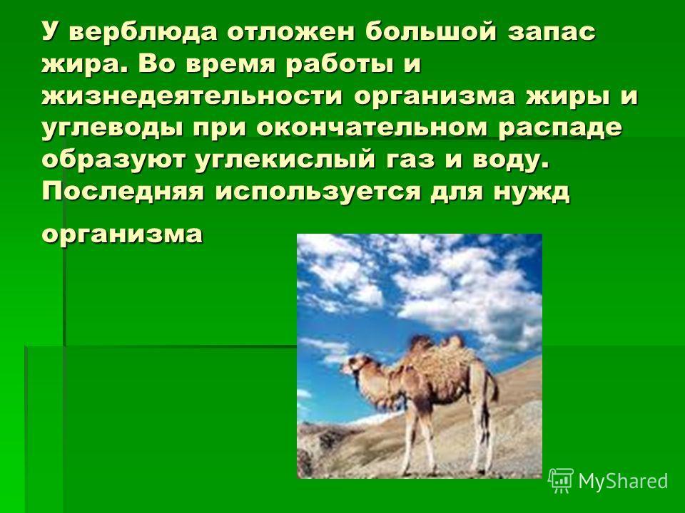 У верблюда отложен большой запас жира. Во время работы и жизнедеятельности организма жиры и углеводы при окончательном распаде образуют углекислый газ и воду. Последняя используется для нужд организма