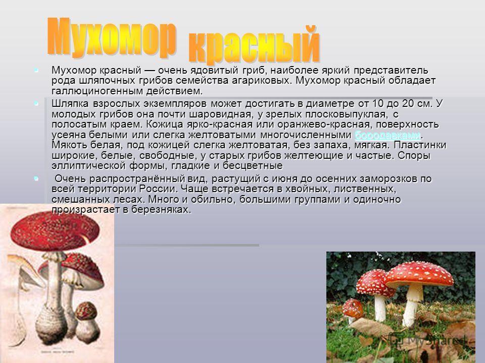 Мухомор красный очень ядовитый гриб, наиболее яркий представитель рода шляпочных грибов семейства агариковых. Мухомор красный обладает галлюциногенным действием. Мухомор красный очень ядовитый гриб, наиболее яркий представитель рода шляпочных грибов