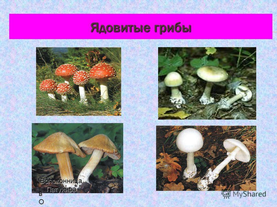 Ядовитые грибы в ОЛОКОв ОЛОКОв ОЛОКОвОЛОКО Волоконница Патуйяра