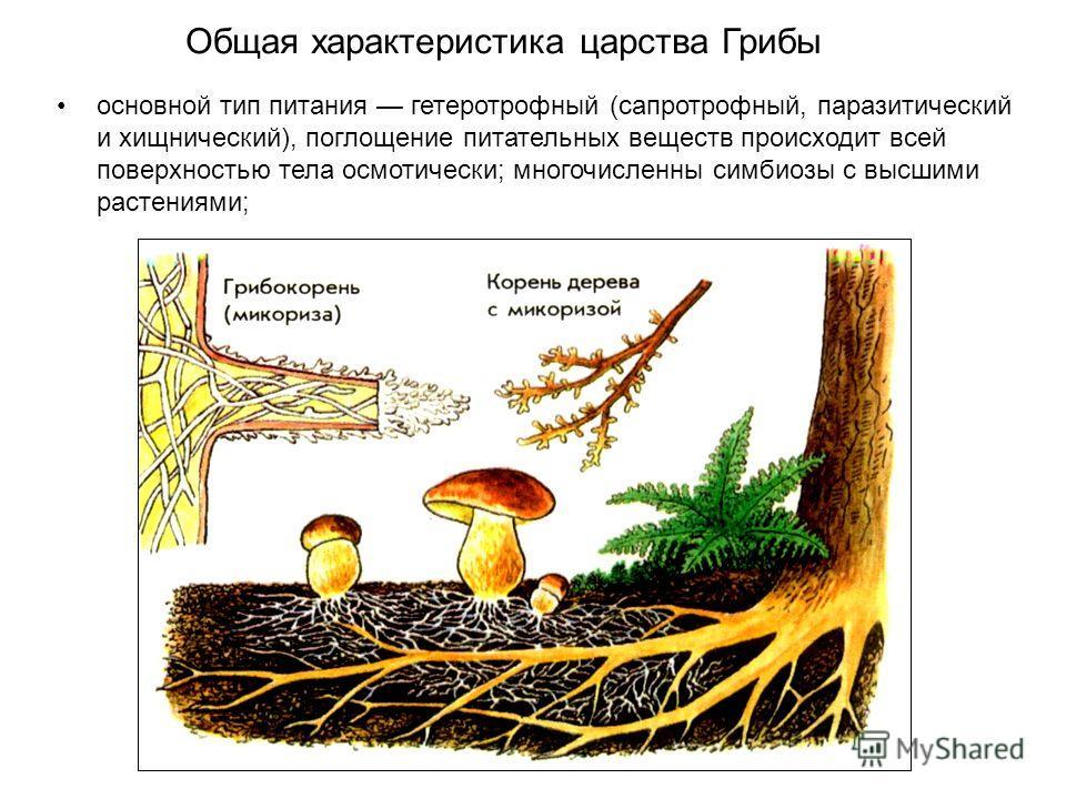 основной тип питания гетеротрофный (сапротрофный, паразитический и хищнический), поглощение питательных веществ происходит всей поверхностью тела осмотически; многочисленны симбиозы с высшими растениями; Общая характеристика царства Грибы