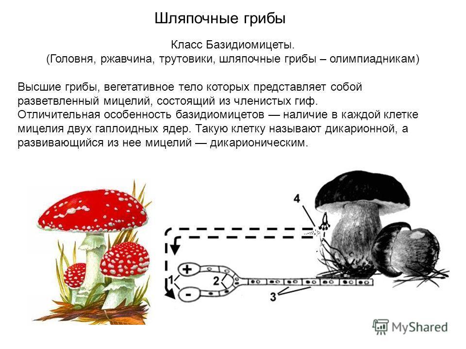 Класс Базидиомицеты. (Головня, ржавчина, трутовики, шляпочные грибы – олимпиадникам) Высшие грибы, вегетативное тело которых представляет собой разветвленный мицелий, состоящий из членистых гиф. Отличительная особенность базидиомицетов наличие в кажд