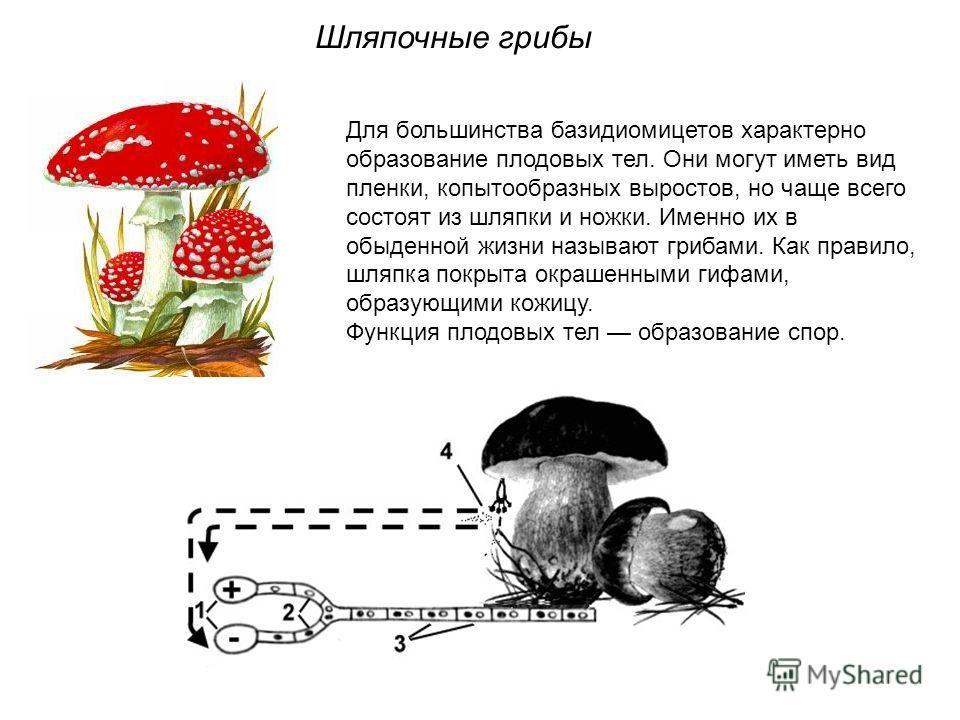 Для большинства базидиомицетов характерно образование плодовых тел. Они могут иметь вид пленки, копытообразных выростов, но чаще всего состоят из шляпки и ножки. Именно их в обыденной жизни называют грибами. Как правило, шляпка покрыта окрашенными ги