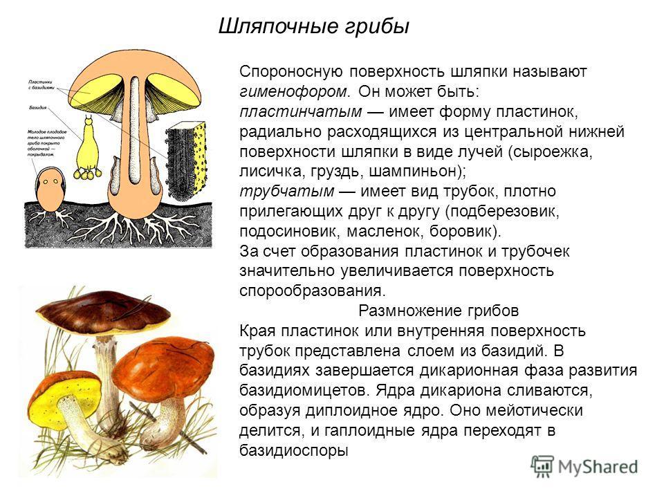 Спороносную поверхность шляпки называют гименофором. Он может быть: пластинчатым имеет форму пластинок, радиально расходящихся из центральной нижней поверхности шляпки в виде лучей (сыроежка, лисичка, груздь, шампиньон); трубчатым имеет вид трубок, п