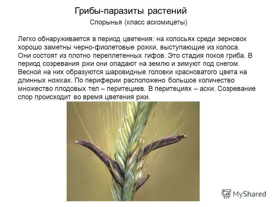 Спорынья (класс аскомицеты) Легко обнаруживается в период цветения: на колосьях среди зерновок хорошо заметны черно-фиолетовые рожки, выступающие из колоса. Они состоят из плотно переплетенных гифов. Это стадия покоя гриба. В период созревания ржи он