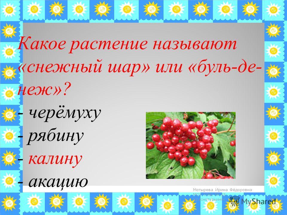 Какое растение называют «снежный шар» или «бульденеж»? - черёмуху - рябину - калину - акацию 28 Мотырева Ирина Фёдоровна МОУ СОШ 15 Краснотурьинск