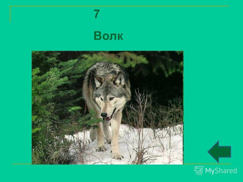7 Волк
