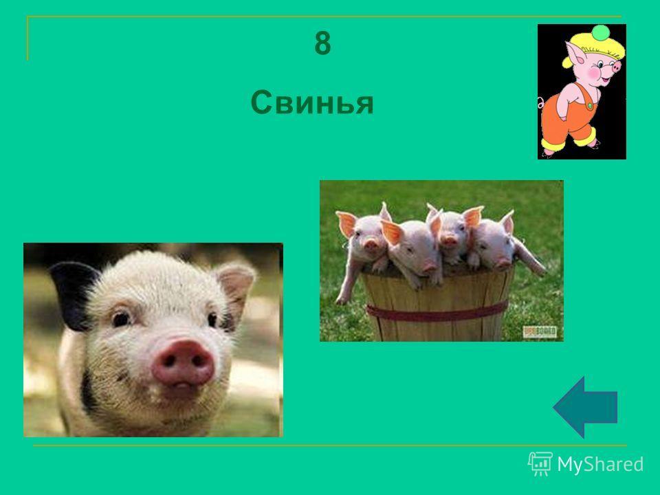 8 Свинья