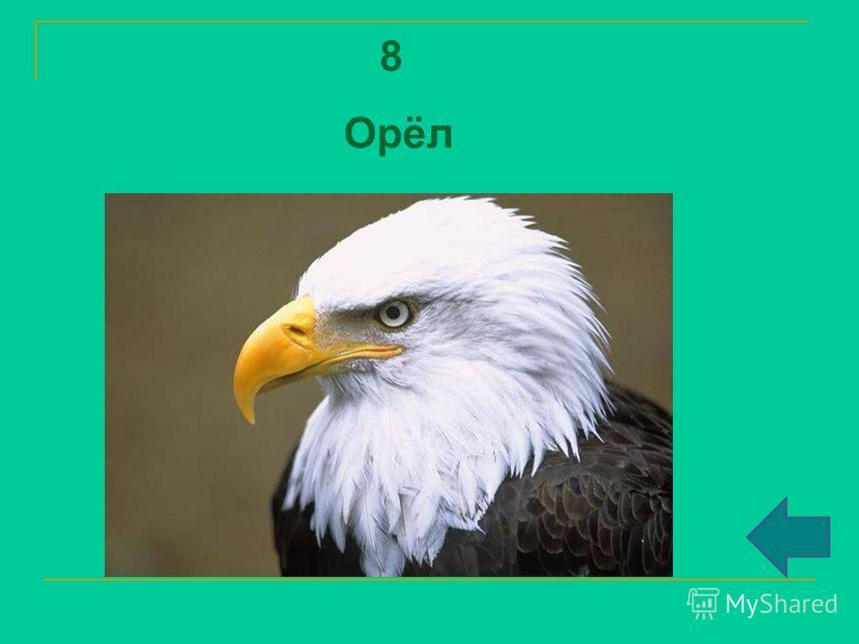 8 Орёл