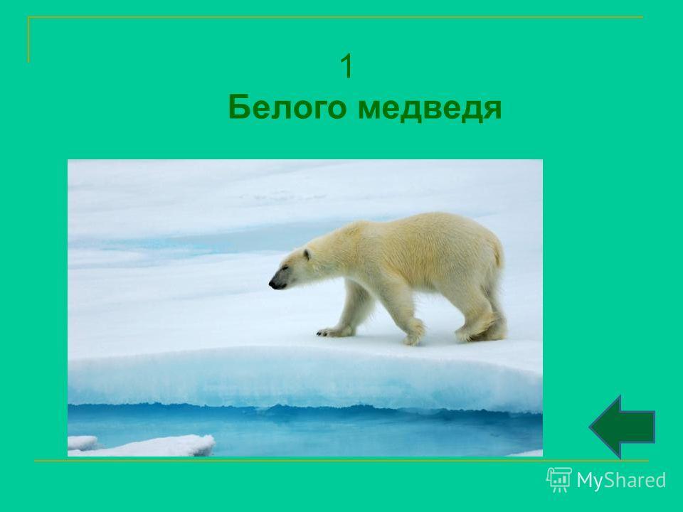 1 Белого медведя
