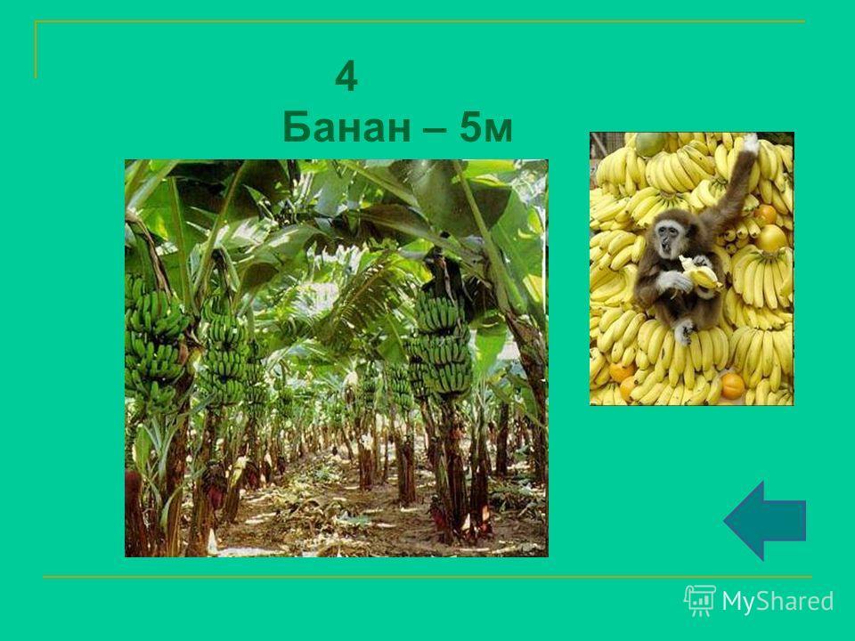 4 Банан – 5 м