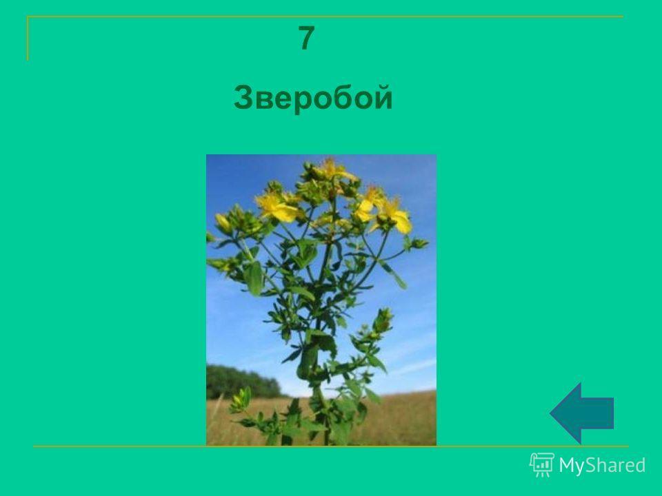 7 Зверобой