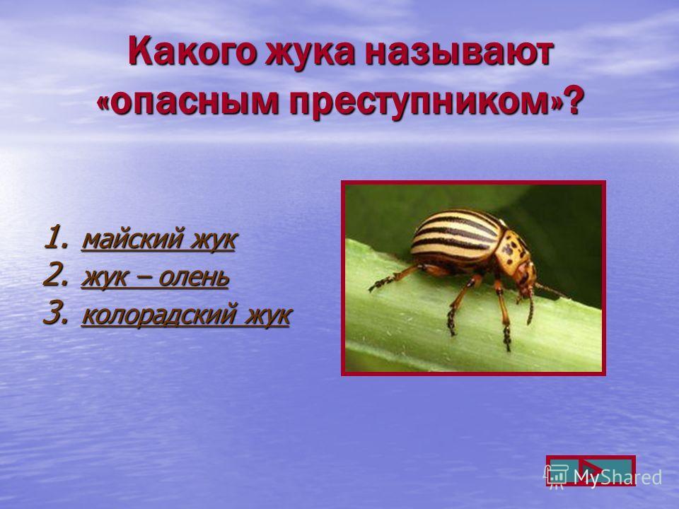 Какого жука называют «опасным преступником»? 1. майский жук майский жук майский жук 2. жук – олень жук – олень жук – олень 3. колорадский жук колорадский жук колорадский жук