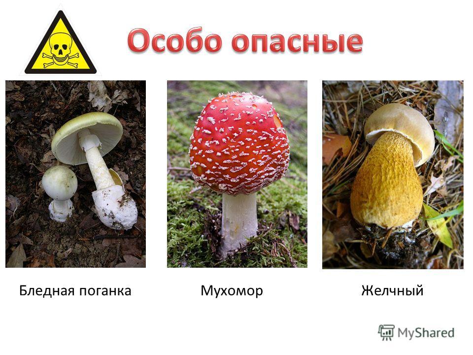 Бледная поганка Мухомор Желчный