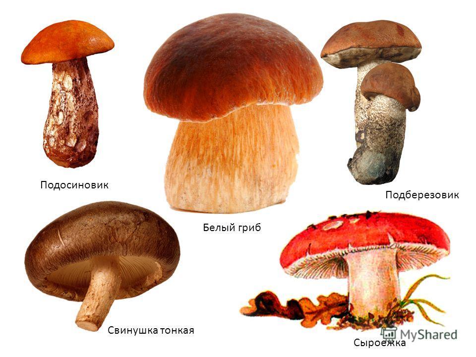 Подосиновик Подберезовик Сыроежка Белый гриб Свинушка тонкая