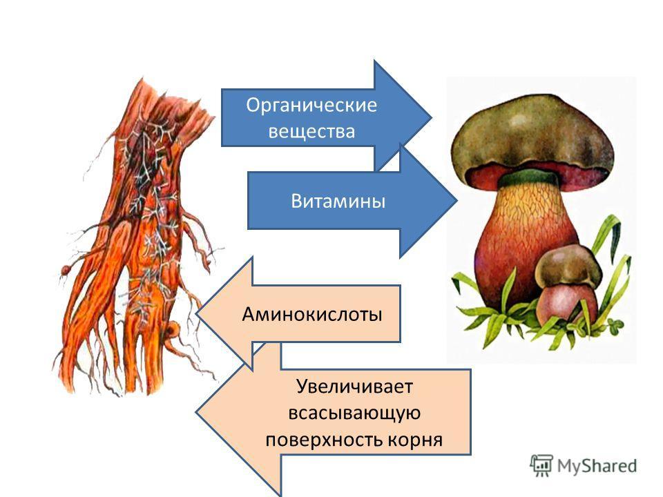 Органические вещества Витамины Увеличивает всасывающую поверхность корня Аминокислоты