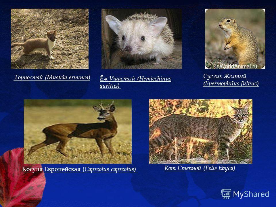 Горностай (Mustela erminea) Ёж Ушастый (Hemiechinus auritus) Суслик Желтый (Spermophilus fulvus) Косуля Европейская ( Capreolus capreolus) Кот Степной (Felis libyca)