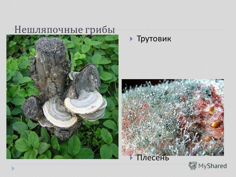 Нешляпочные грибы Трутовик Плесень