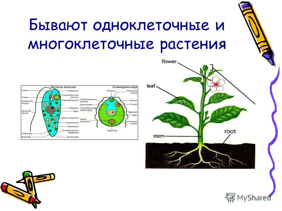 Бывают одноклеточные и многоклеточные растения