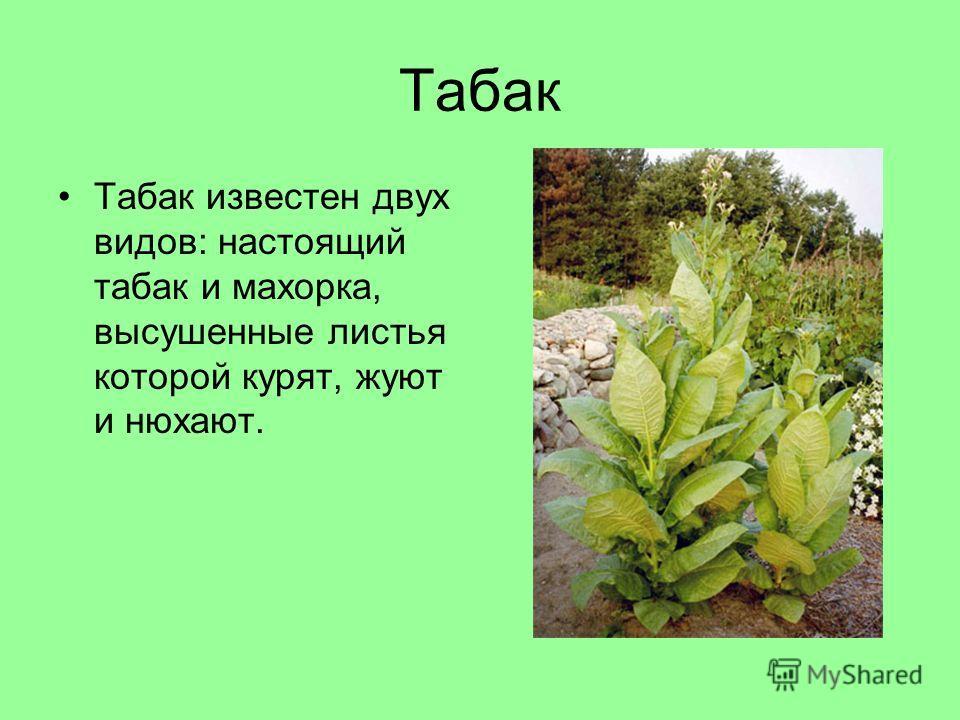 Табак Табак известен двух видов: настоящий табак и махорка, высушенные листья которой курят, жуют и нюхают.