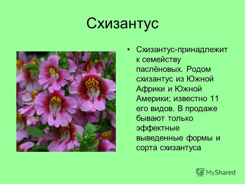 Схизантус Схизантус-принадлежит к семейству паслёновых. Родом схизантус из Южной Африки и Южной Америки; известно 11 его видов. В продаже бывают только эффектные выведенные формы и сорта схизантуса