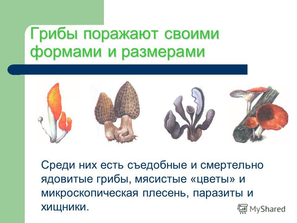 Грибы поражают своими формами и размерами Среди них есть съедобные и смертельно ядовитые грибы, мясистые «цветы» и микроскопическая плесень, паразиты и хищники.