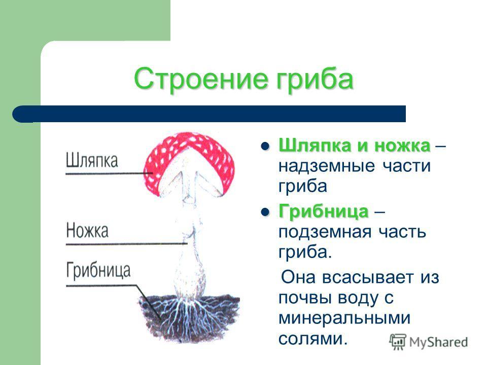 Строение гриба Шляпка и ножка Шляпка и ножка – надземные части гриба Грибница Грибница – подземная часть гриба. Она всасывает из почвы воду с минеральными солями.
