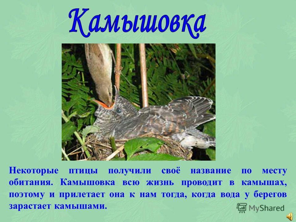 Название трясогузка тоже говорит о поведении птицы, которая постоянно покачивает хвостом. Живут эти птицы около воды. Бегут волны, потряхивает хвостиком птичка. Попробуй её заметить, если всё перед глазами колышется.