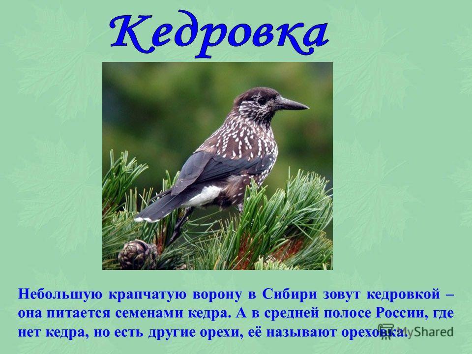 Некоторые птицы получили своё название в соответствии с тем, чем они питаются. Мухоловка питается мухами, причём она их ловит, а не склёвывает их с земли.