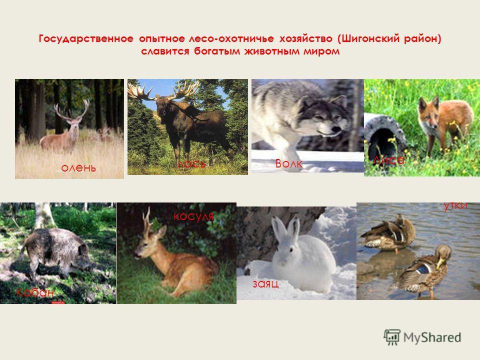 Занесёны в Красный список Всемирного союза охраны природы. Кречетка Русская выхухоль