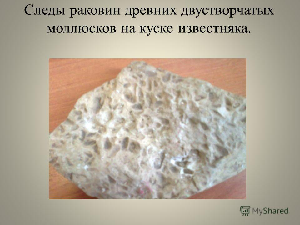 Следы раковин древних двустворчатых моллюсков на куске известняка.
