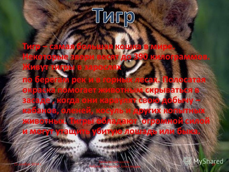 Тигр – самая большая кошка в мире. Некоторые звери весят до 390 килограммов. Живут тигры в зарослях по берегам рек и в горных лесах. Полосатая окраска помогает животным скрываться в засаде, когда они караулят свою добычу – кабанов, оленей, косуль и д
