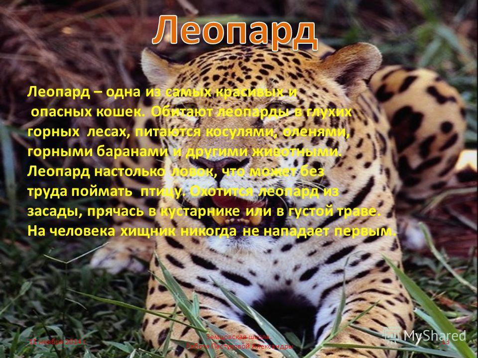 Леопард – одна из самых красивых и опасных кошек. Обитают леопарды в глухих горных лесах, питаются косулями, оленями, горными баранами и другими животными. Леопард настолько ловок, что может без труда поймать птицу. Охотится леопард из засады, прячас