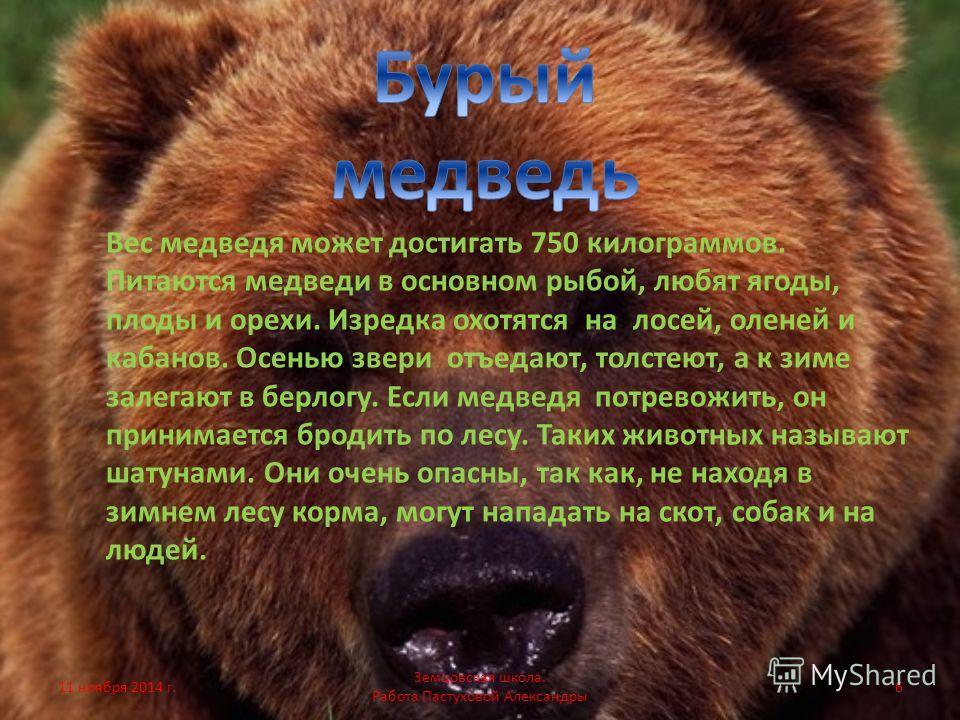 Вес медведя может достигать 750 килограммов. Питаются медведи в основном рыбой, любят ягоды, плоды и орехи. Изредка охотятся на лосей, оленей и кабанов. Осенью звери отъедают, толстеют, а к зиме залегают в берлогу. Если медведя потревожить, он приним