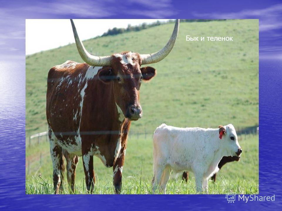 Бык и теленок