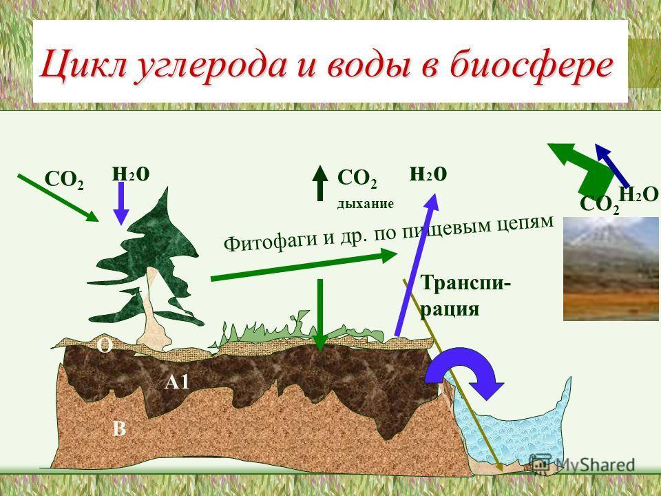Цикл углерода и воды в биосфере СО 2 Фитофаги и др. по пищевым цепям СО 2 дыхание А1 СО 2 В О н 2 он 2 он 2 он 2 о Транспи- рация Н2ОН2О