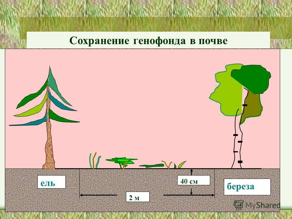 ель береза 2 м 40 см Сохранение генофонда в почве