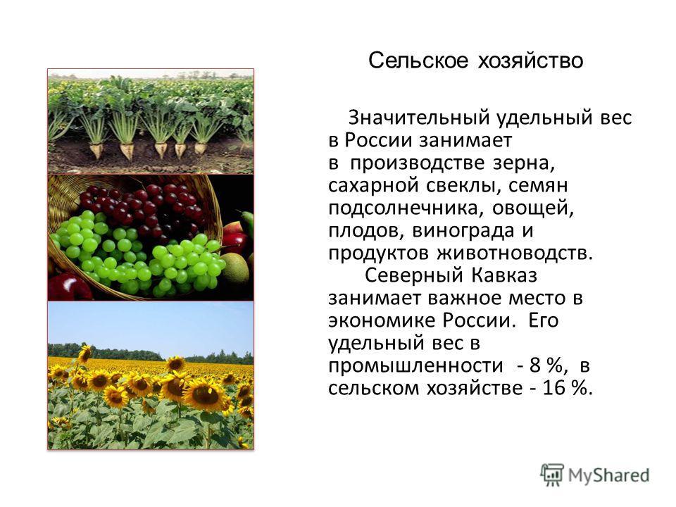 Сельское хозяйство Значительный удельный вес в России занимает в производстве зерна, сахарной свеклы, семян подсолнечника, овощей, плодов, винограда и продуктов животноводств. Северный Кавказ занимает важное место в экономике России. Его удельный вес