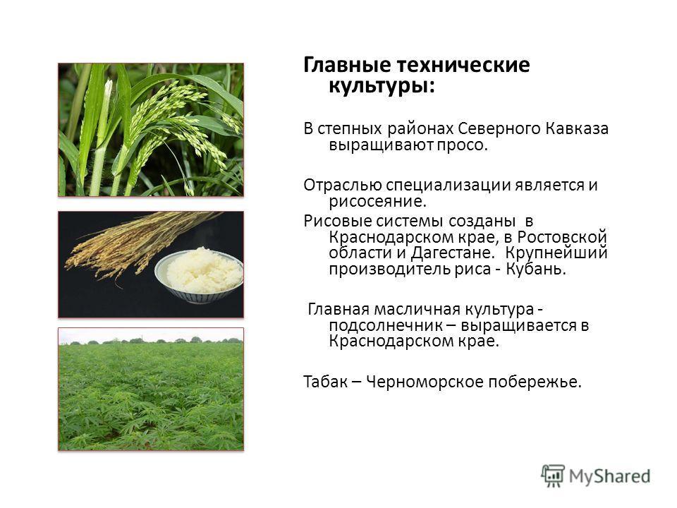 Главные технические культуры: В степных районах Северного Кавказа выращивают просо. Отраслью специализации является и рисосеяние. Рисовые системы созданы в Краснодарском крае, в Ростовской области и Дагестане. Крупнейший производитель риса - Кубань.