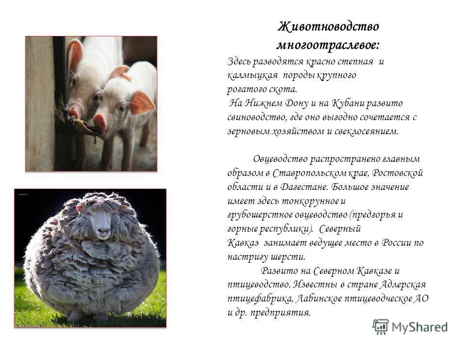 Животноводство многоотраслевое: Здесь разводятся красно степная и калмыцкая породы крупного рогатого скота. На Нижнем Дону и на Кубани развито свиноводство, где оно выгодно сочетается с зерновым хозяйством и свеклосеянием. Овцеводство распространено