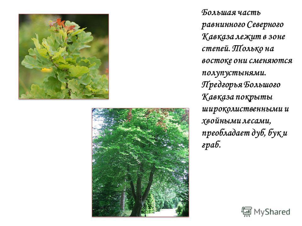 Большая часть равнинного Северного Кавказа лежит в зоне степей. Только на востоке они сменяются полупустынями. Предгорья Большого Кавказа покрыты широколиственными и хвойными лесами, преобладает дуб, бук и граб.