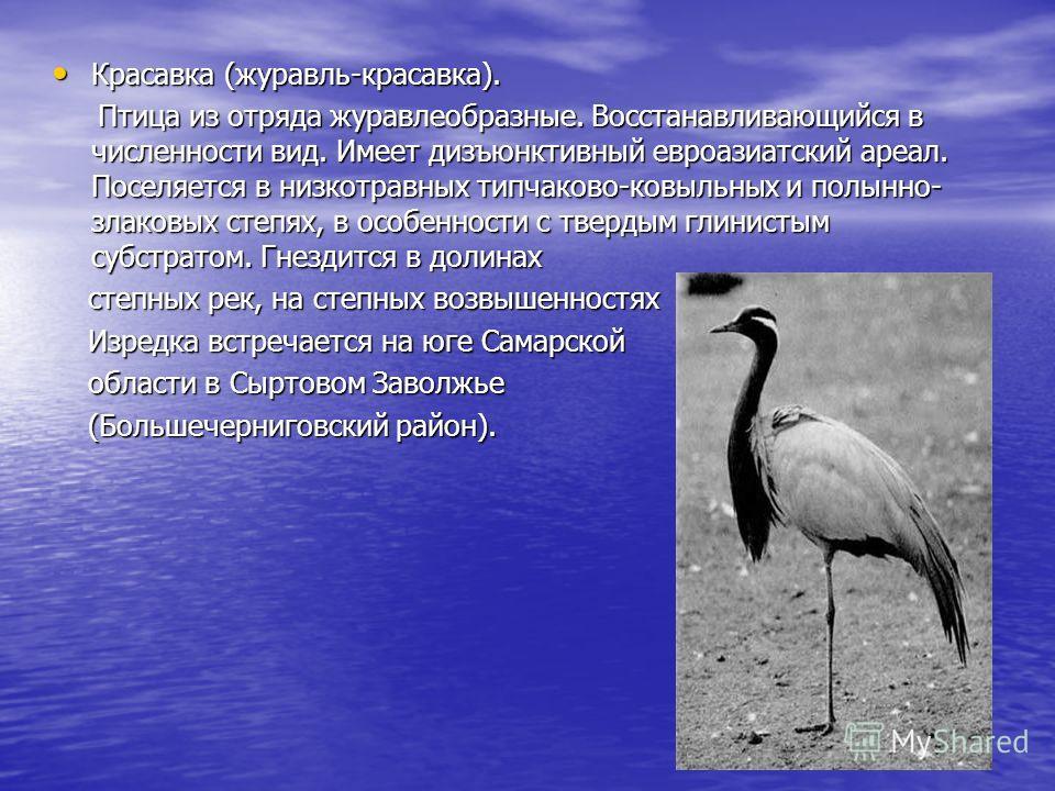 Красавка (журавль-красавка). Красавка (журавль-красавка). Птица из отряда журавлеобразные. Восстанавливающийся в численности вид. Имеет дизъюнктивный евроазиатский ареал. Поселяется в низкотравных типчаково-ковыльных и полынно- злаковых степях, в осо