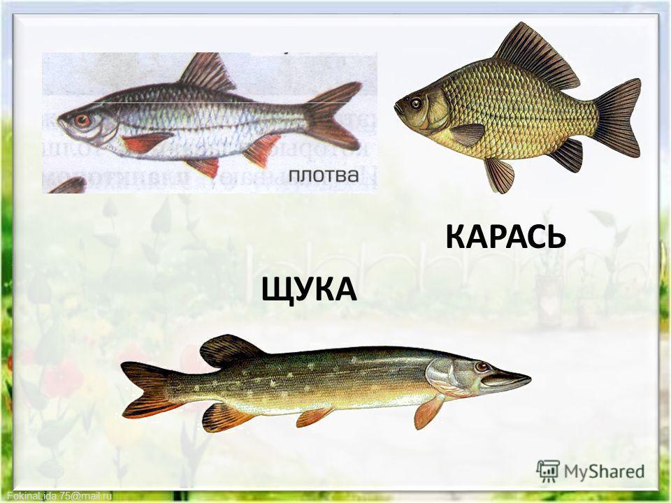FokinaLida.75@mail.ru КАРАСЬ ЩУКА