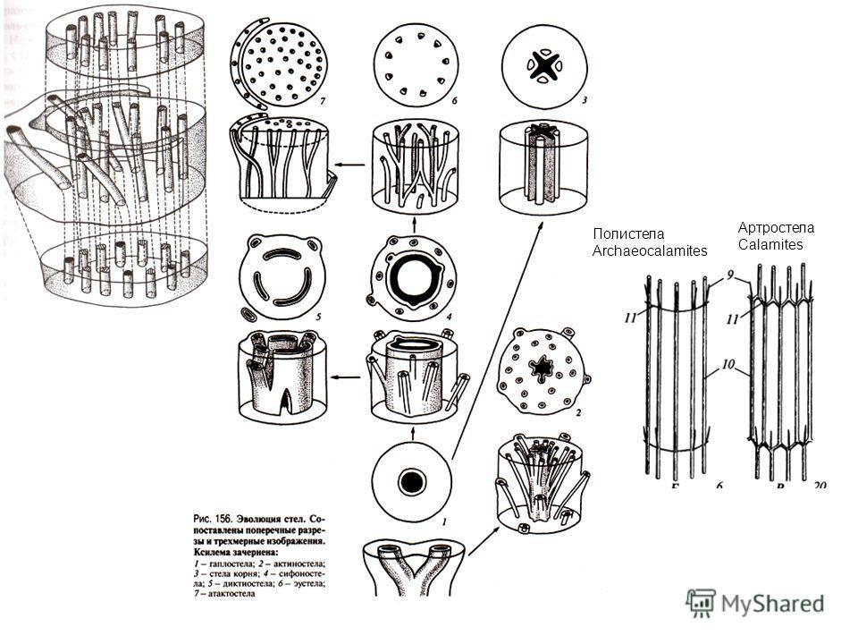 Полистела Archaeocalamites Артростела Сalamites