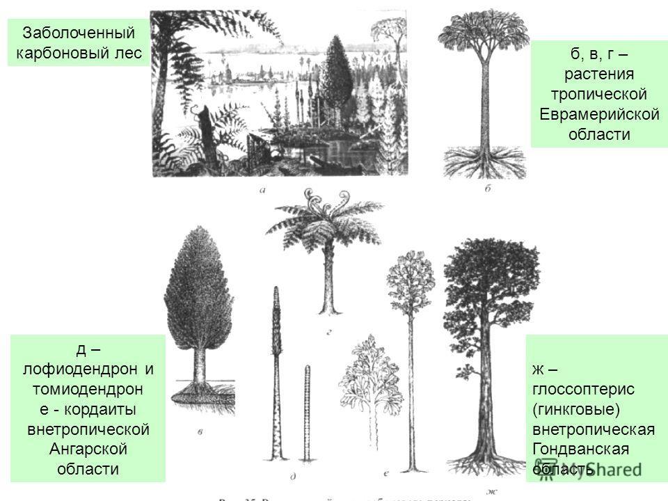 ж – глоссоптерис (гинкговые) внетропическая Гондванская область Заболоченный карбоновый лес б, в, г – растения тропической Еврамерийской области д – лофиодендрон и томиодендрон е - кордаиты внетропической Ангарской области