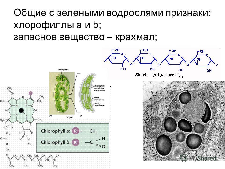 Общие с зелеными водрослями признаки: хлорофиллы a и b; запасное вещество – крахмал;