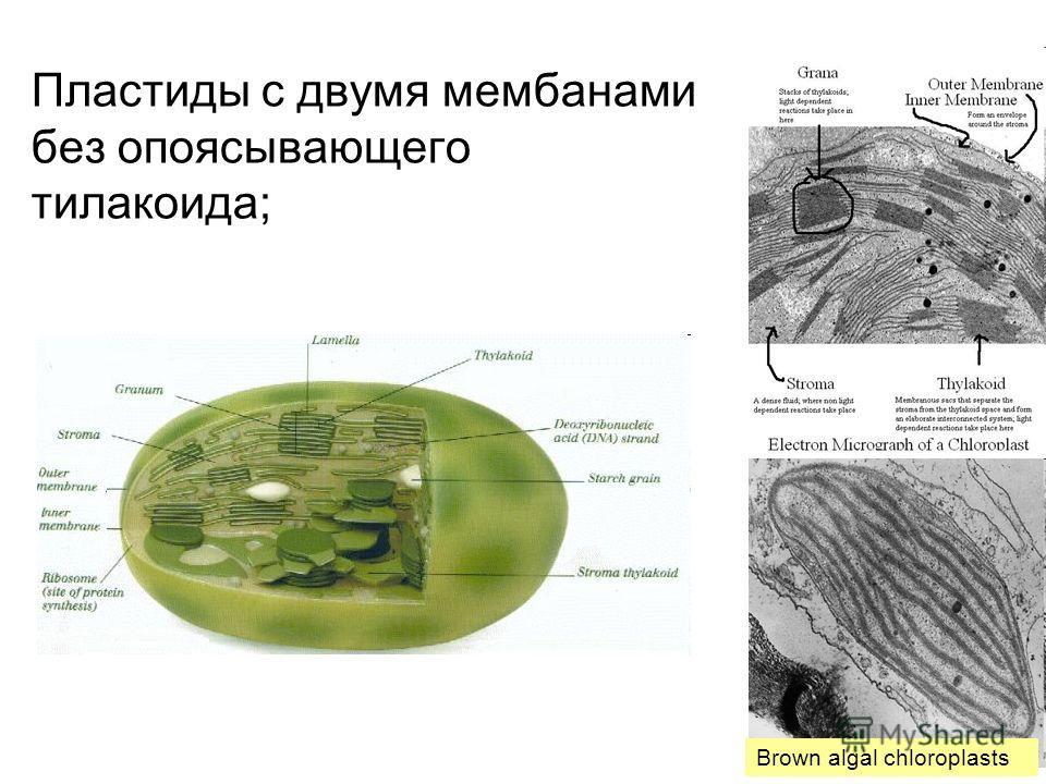 Пластиды с двумя мембанами без опоясывающего тилакоида; Brown algal chloroplasts