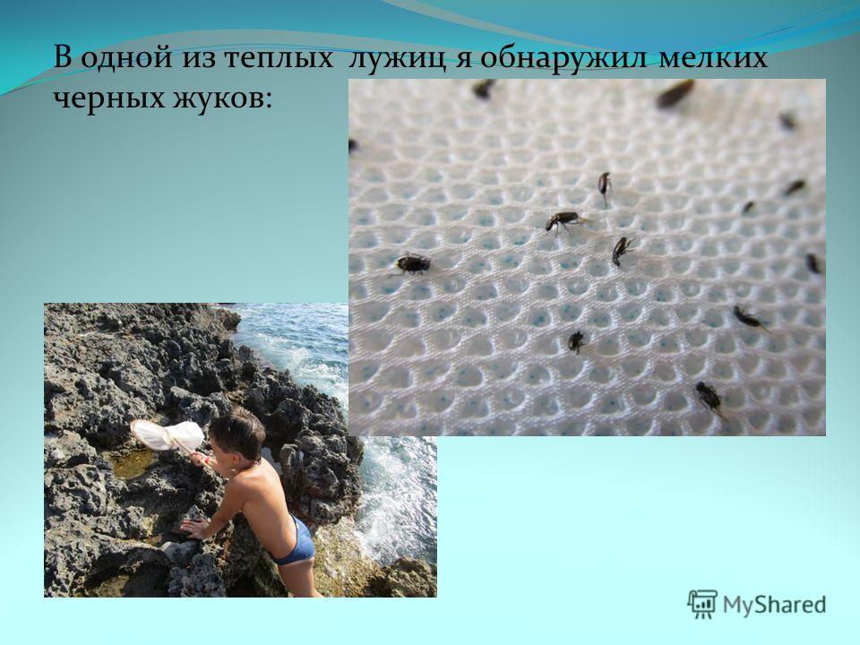 В одной из теплых лужиц я обнаружил мелких черных жуков: